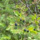 Wild Mountain Huckleberry Muffins