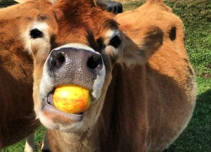 cow eating apple2